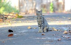 A Indian Cat Royalty Free Stock Image