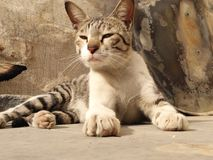 Indian cat Royalty Free Stock Photography