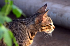Indian cat. It is indian cat and nature photography royalty free stock photos