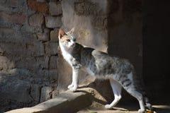 Indian Cat Royalty Free Stock Photos