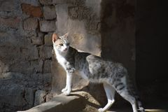 Indian Cat Stock Images