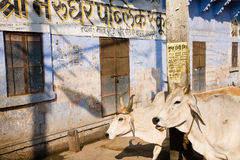 Indian cattle in city Stock Image