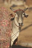 Indian Cattle Fair Royalty Free Stock Images