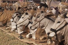 Indian Cattle Fair Stock Photography
