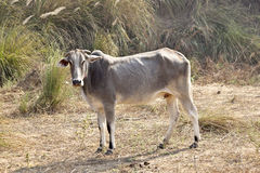 Indian Cattle Stock Photos