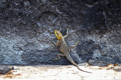 Indian Chamaleon. Yellow brown Indian chamaleon climbing a black rock Stock Photography