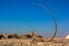 Indian chameleon blue sky Stock Photography