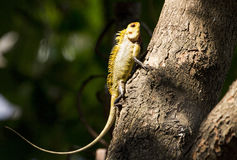 Indian chameleon Royalty Free Stock Images