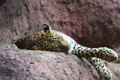 Indian Cheetah Royalty Free Stock Photography