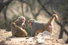 Indian city monkeys Royalty Free Stock Images