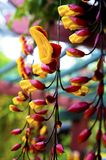 Indian clock vine in flower stock image