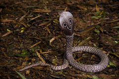 Indian Cobra snake Stock Photography