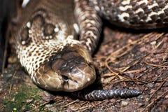 Indian cobra (Naja naja) Royalty Free Stock Photos