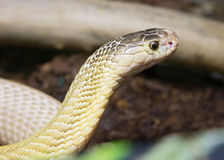Indian Cobra (white form) Royalty Free Stock Photo