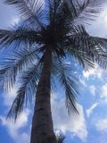 Indian coconut tree royalty free stock photo