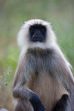 Indian Common Langur monkey Royalty Free Stock Photo
