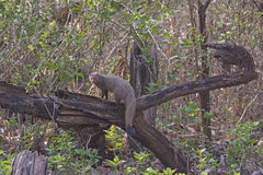 Indian Common Mongoose in the Forest Royalty Free Stock Photo