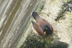 Indian Common Mynah Kabar - Acridotheres Tristis Royalty Free Stock Images