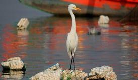Indian Continental Heron, Maharashtra, India Stock Images
