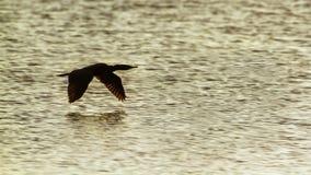 Indian cormorant in Arugam bay lagoon, Sri Lanka Stock Image