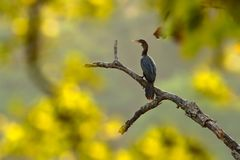 Indian Cormorant, dark bird in nature habitat, sitting on the branch with clear green background, Ranthambore, India. River bird i Stock Image