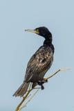 Indian Cormorant Stock Photography