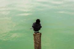 Indian Cormorant, Phalacrocorax fuscicollis, dark bird in nature Stock Image