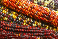 Indian corn #1 Stock Image