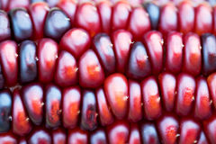 Free Indian Corn Royalty Free Stock Photo - 11582525