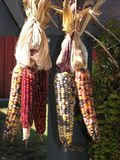 Indian corn. Cobs hanging up Stock Image