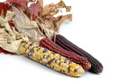 Indian Corn. Cobs of indian corn isolated on a white background Royalty Free Stock Images
