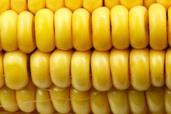 Free Indian Corn Stock Photography - 1388242