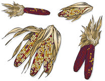 Indian Corn. Vector art in Illustrator 8. Kernels are individual to allow for easy color change if you desire Stock Image