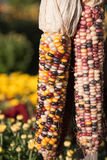Indian Corn Stock Photography