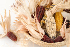 Indian corn. In the handbasked Royalty Free Stock Image