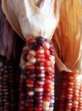 Indian Corn 2. Closeup of Indian Corn and Husk Royalty Free Stock Photo