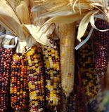 Indian Corn. Colorful dried Indian corn for holiday decorating royalty free stock image