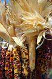Indian Corn. Colorful dried indian corn for holiday decorating royalty free stock photography