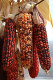 Indian Corn. Colorful dried Indian corn for holiday decorating royalty free stock photos