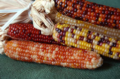 Indian Corn. Decorative colorful dried corn used for fall decorating royalty free stock images