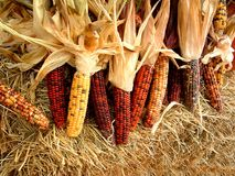 Indian Corn. Stalks of decorative indian corn on a bale of hay Royalty Free Stock Image