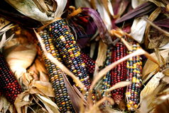 Indian Corn. A large cluster of indian corn Stock Photo