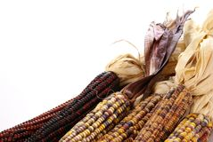 Indian Corn. On the cob with tassels, close up Royalty Free Stock Images