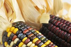 Free Indian Corn Royalty Free Stock Photo - 6424275