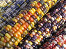 Indian Corn Angles. Ears of Indian Corn Shot with Early Morning Sunlight Stock Images