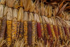 Indian corn in autumn stock photo