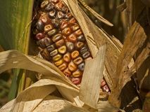Indian Corn Close-Up Royalty Free Stock Photos