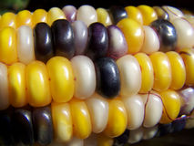 Indian corn close up Royalty Free Stock Images