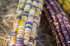 Indian Corn Close Up. Purple, orange, yellow kernels of corn in autumn Stock Image