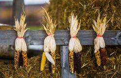 Indian corn Stock Image